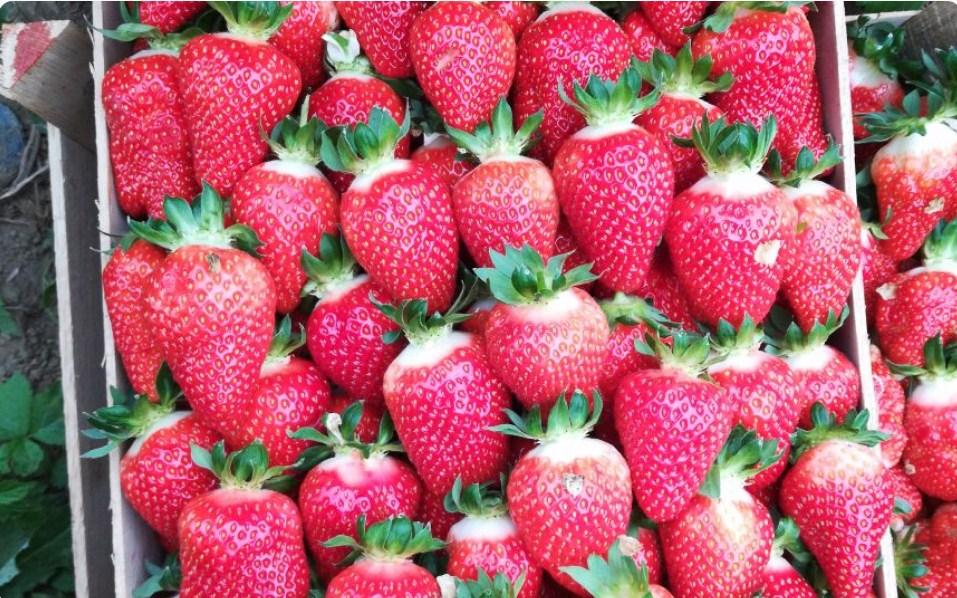 купить оптом клубнику ягоду