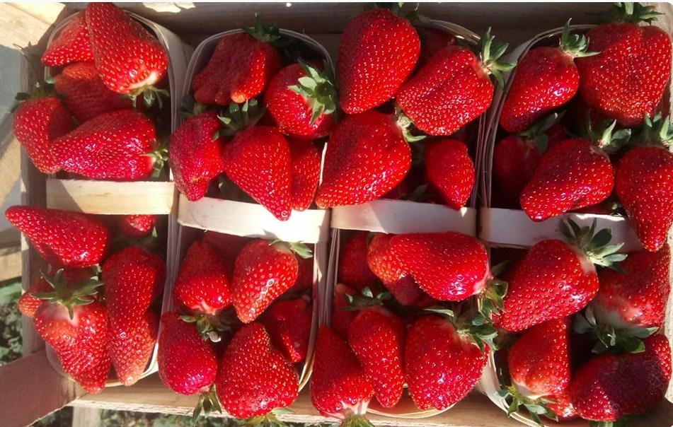 купить оптом клубнику ягоду2